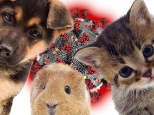 Hoe infectie gevaarlijk is je huisdier?